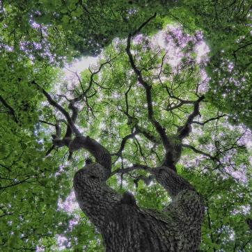 Ash tree, Knott Wood, Upper Calder Valley, August 2016