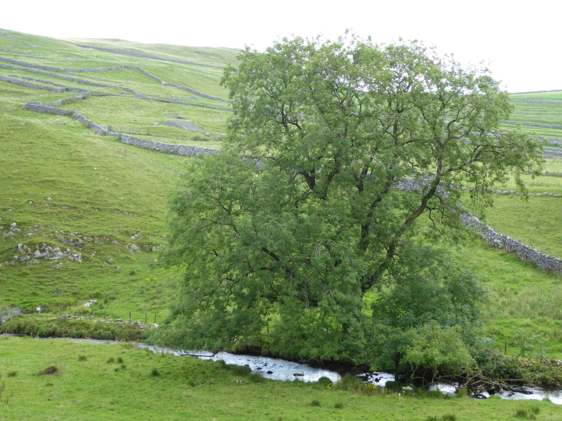 Ash tree in near Malham, Yorkshire Dales